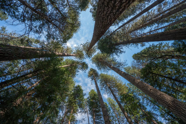 Forest Canopy Tree Canopy in Canada. Never forget to look up! The forest canopy never ceases to amaze me. fallen tree stock pictures, royalty-free photos & images