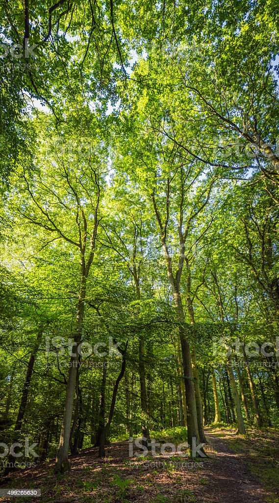 Forest canopy soaring into blue skies deep in green woodland stock photo