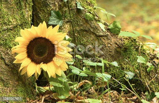 Urn burial in the funeral forest. Nature grave with sunflower. Space for text on the right.