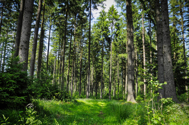 forest clearing in a typical austrian spruce forest - forest bathing foto e immagini stock
