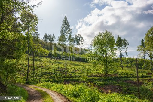 Forest clearing with tall fir trees in the middle of the sunny forest in the morning