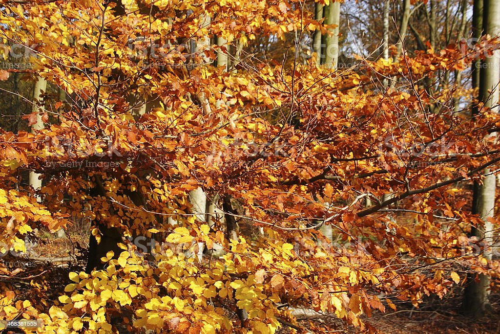 forest - colours at fall royalty-free stock photo