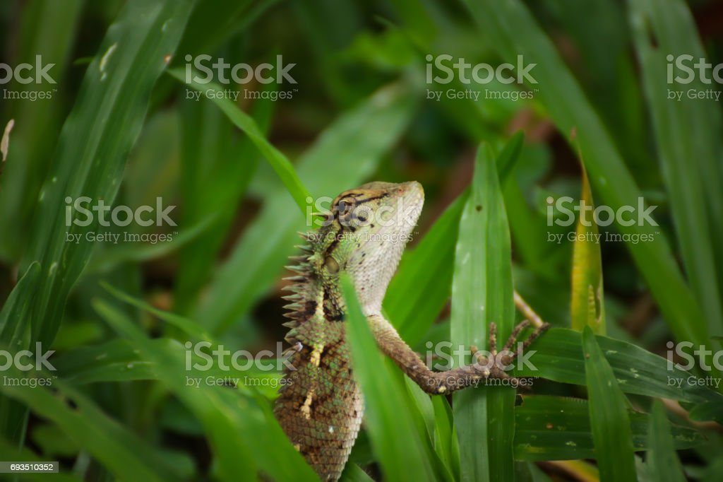 Forest Crested Lizard stock photo