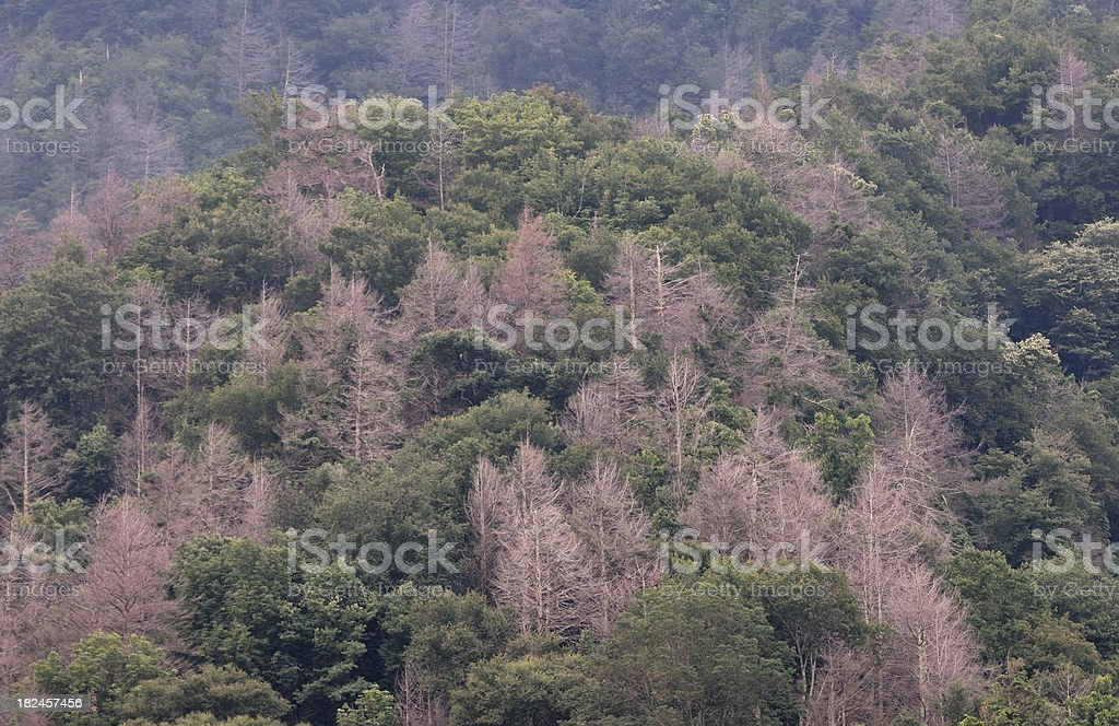 Forest damage and death from an insect pest royalty-free stock photo