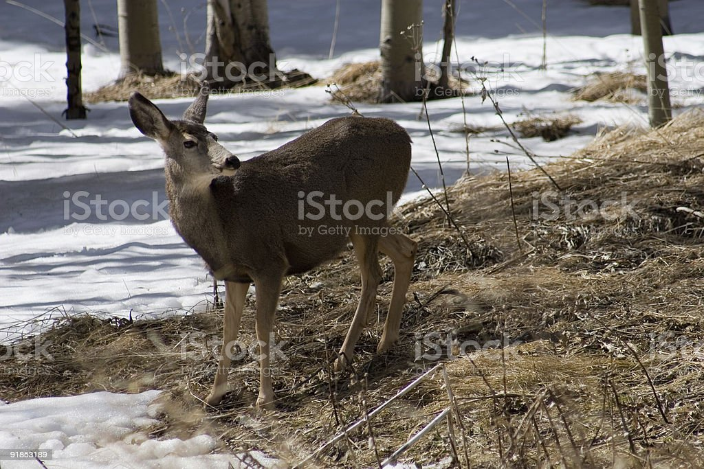 forest deer 2 royalty-free stock photo