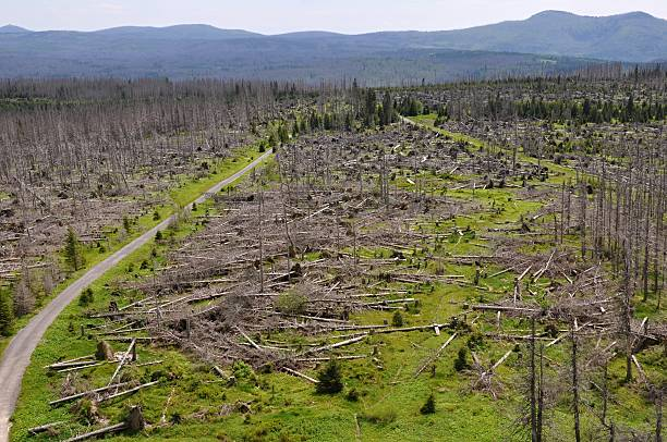 Forest destroyed by bark beetle and hurricane stock photo