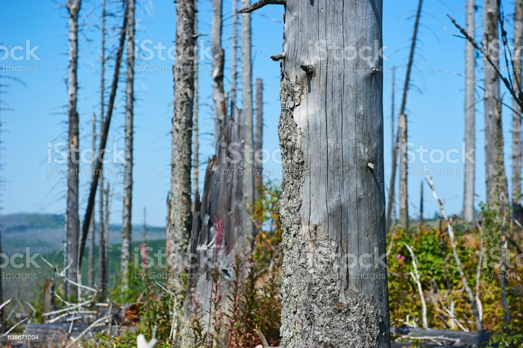 Forest dieback by bark beetle infestations and Kyrill storm stock photo