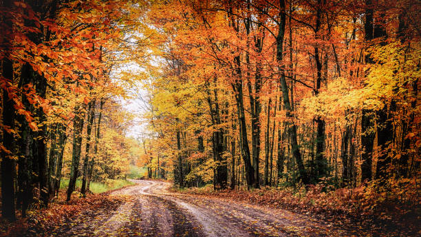 Forest Drive in Autumn. The Covered Road in Michigan's Houghton County. A winding country road through a forest of spectacular fall colors. This tranquil woodland drive goes through a tunnel of trees along the scenic Covered Road of Michigan's Houghton County in the state's Upper Peninsula. Autumn background with copy space. autumn leaf color stock pictures, royalty-free photos & images