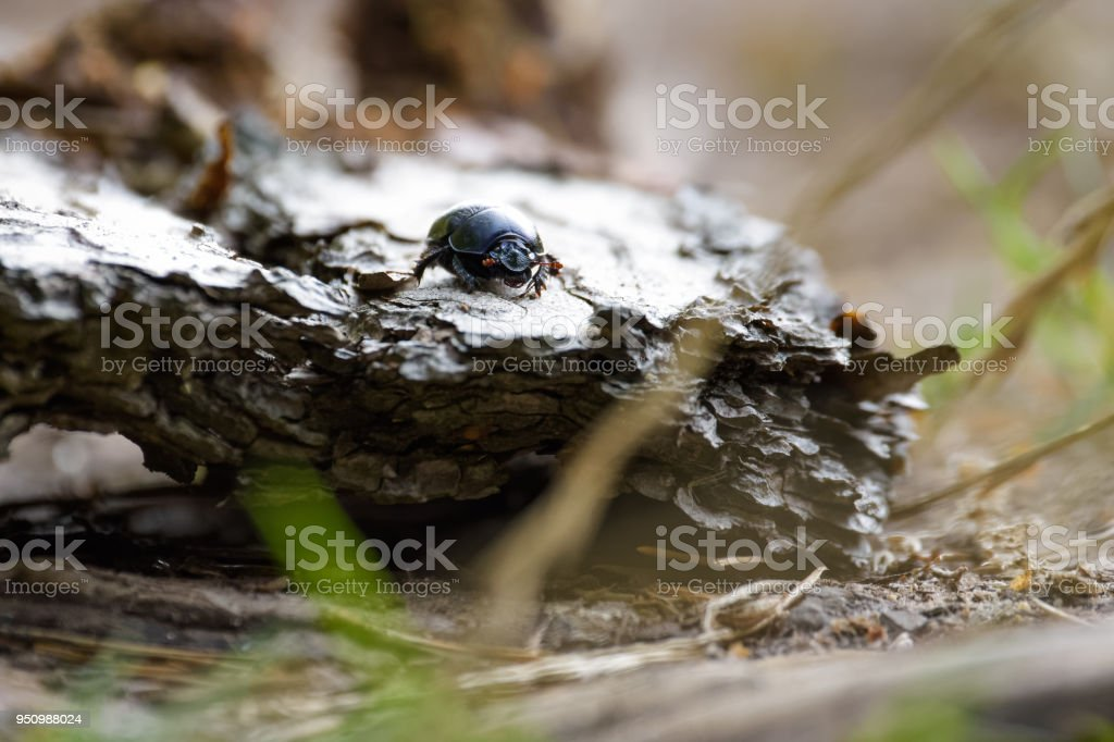 Forest dung beetle sitting on a piece of bark stock photo