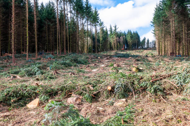 Forest during felling operations stock photo