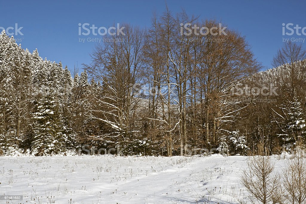 Forest during winter royalty-free stock photo