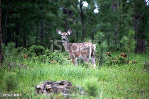 White-tailed deer in the Black Hills of South Dakota.