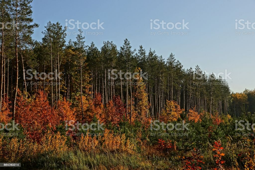 forest edge with pine trees and vegetation with colored leaves against the sky royalty-free stock photo