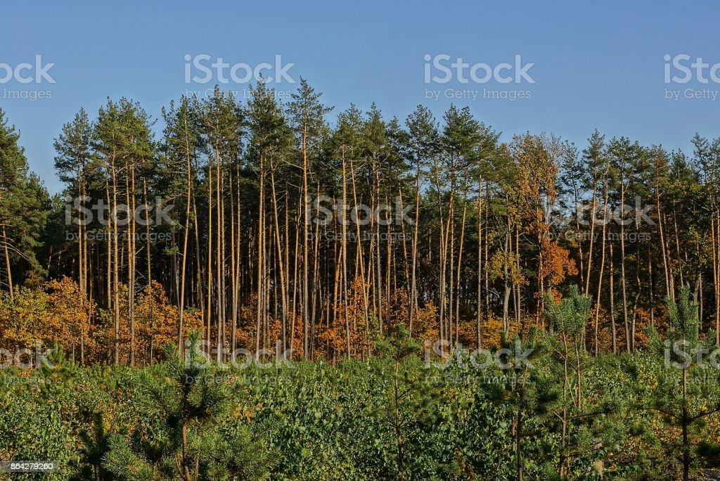 forest edge with pines and deciduous trees with brown leaves royalty-free stock photo