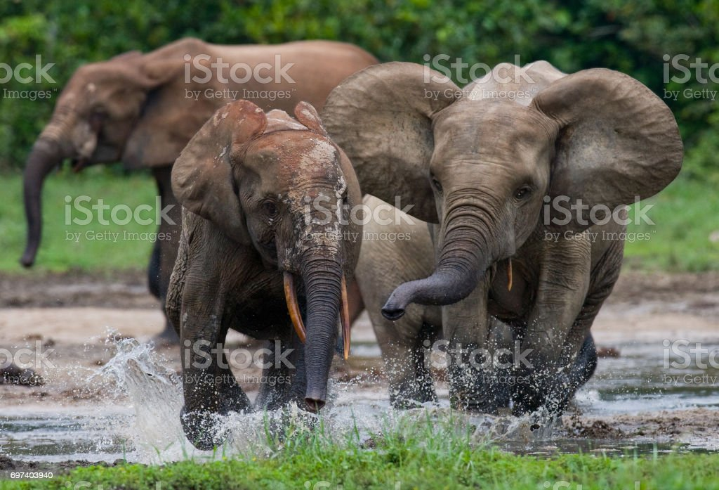 Forest elephants playing with each other. Central African Republic. Republic of Congo. Dzanga-Sangha Special Reserve. stock photo