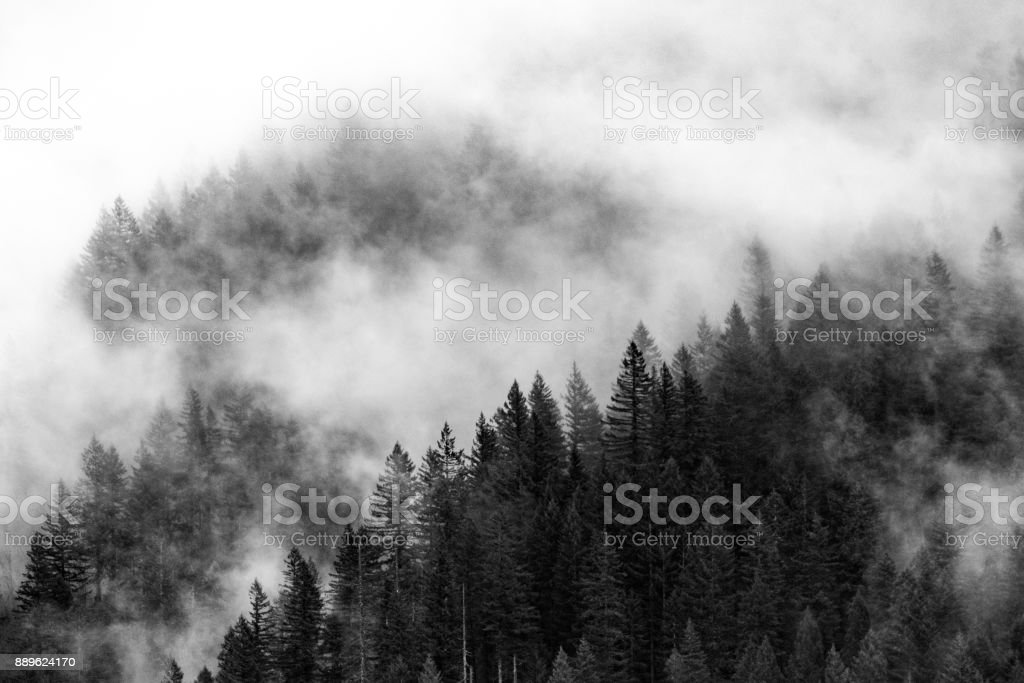 Forest Engulfed in Fog stock photo