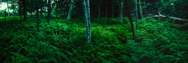 Forest Fern Path stock photo