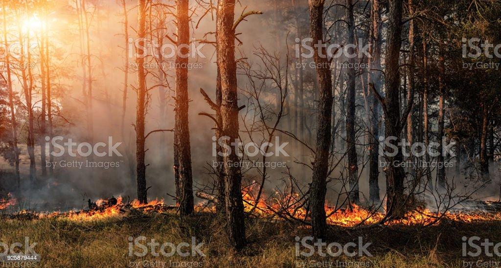 Bosbrand en donkere rookwolken in pine tribunes. foto