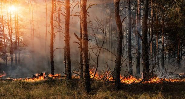 bosbrand en donkere rookwolken in pine tribunes. - bosbrand stockfoto's en -beelden