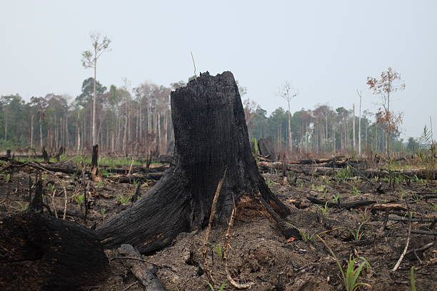Forest Fire in Tesso Nilo Sumatera Indonesia stock photo