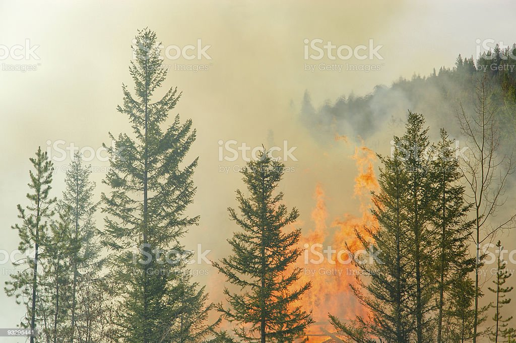 A forest fire with tall pine trees stock photo