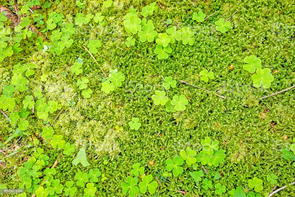 Forest floor with trefoils stock photo