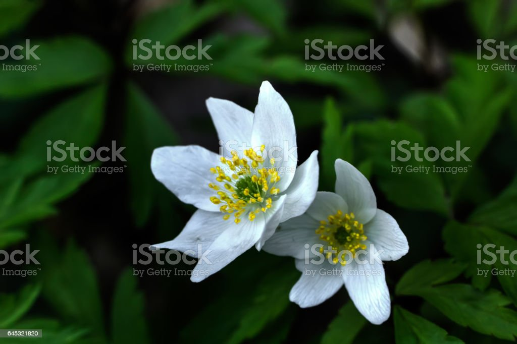 Forest flower. Anemone. stock photo