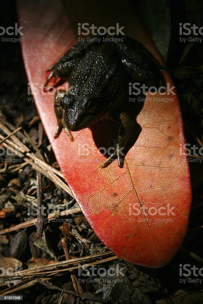 Forest Frog royalty-free stock photo