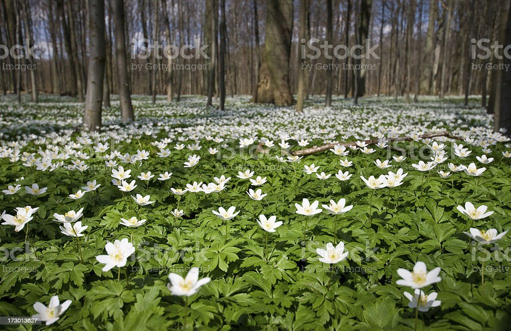 Forest full of Anemones stock photo