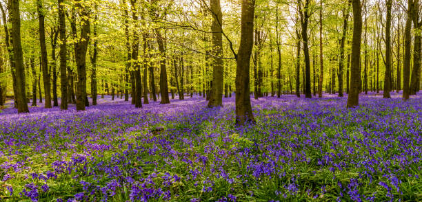 Forest full of bluebells flowers British forest full of bluebells flowers bluebell stock pictures, royalty-free photos & images