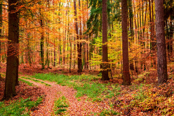 Forest full of golden and brown leaves in autumn, Poland stock photo