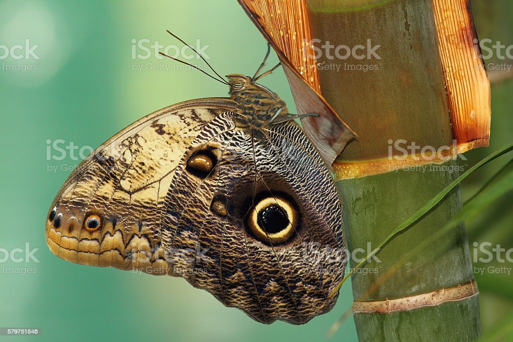 forest giant owl butterfly stock photo
