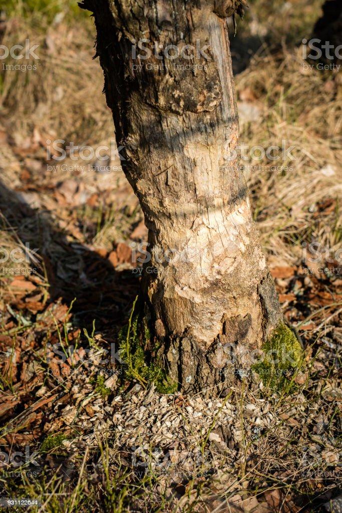Kunduz çevresinde büyüyen bir orman. Kunduzlar tarafından kesilen ağaç gövdeleri. Erken bahar mevsimi. - Royalty-free Ahşap Stok görsel