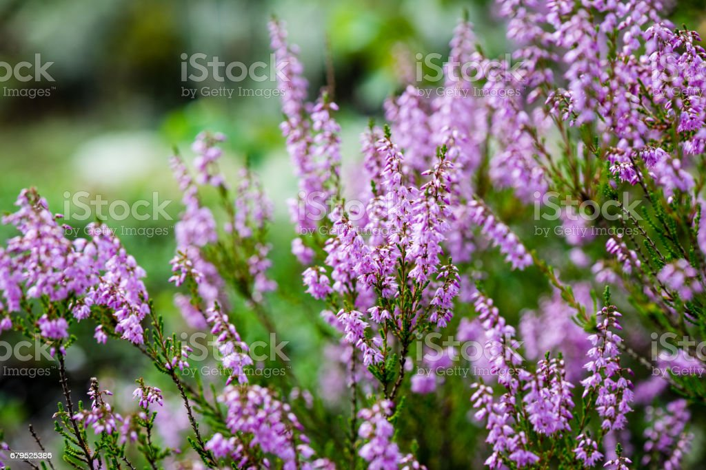 Forest heather flowers and blossoms in spring stock photo more forest heather flowers and blossoms in spring royalty free stock photo mightylinksfo