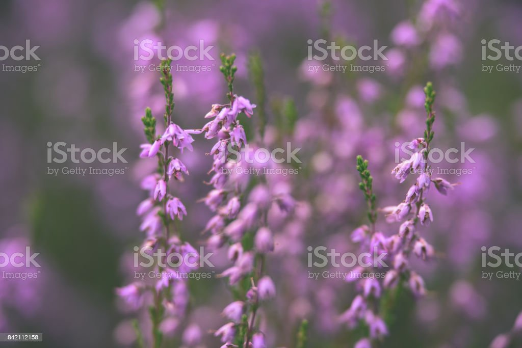 Forest Heather Flowers And Blossoms In Spring Vintage Film Look