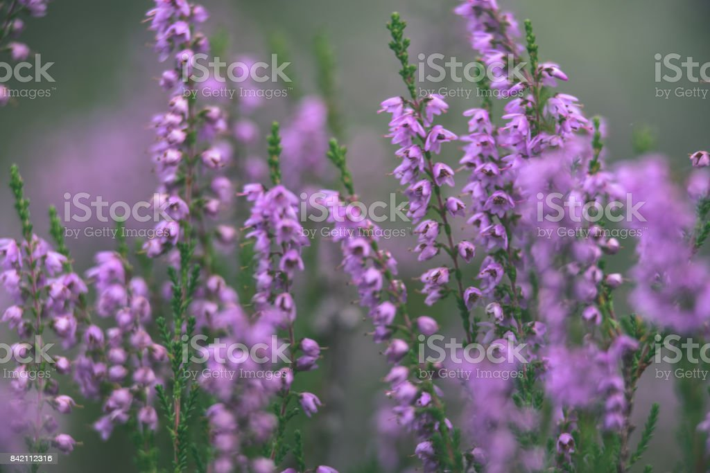 Forest heather flowers and blossoms in spring vintage film look forest heather flowers and blossoms in spring vintage film look royalty free stock photo mightylinksfo