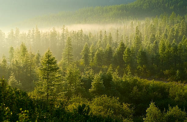 forest illuminated by the rising sun - pine tree stock photos and pictures