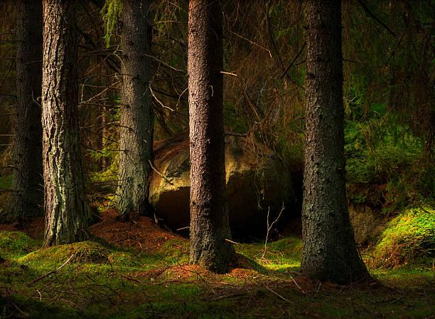 forest in magic evening light - pine forest sweden bildbanksfoton och bilder