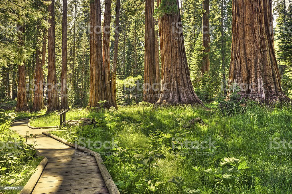 Forest in Sequoia National Park, California stock photo