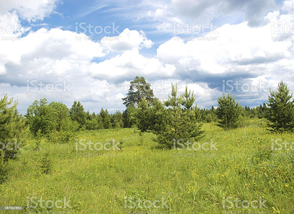 Forest in summer royalty-free stock photo