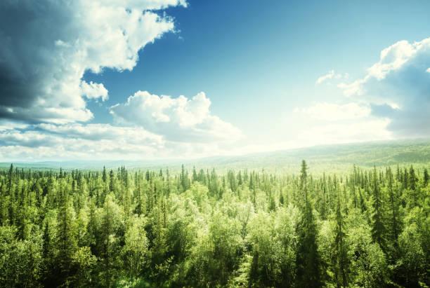 forêt en journée ensoleillée - sapin photos et images de collection