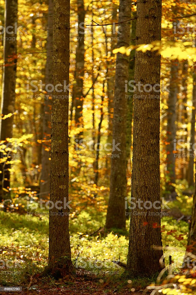 Forest in the Fall royalty-free stock photo