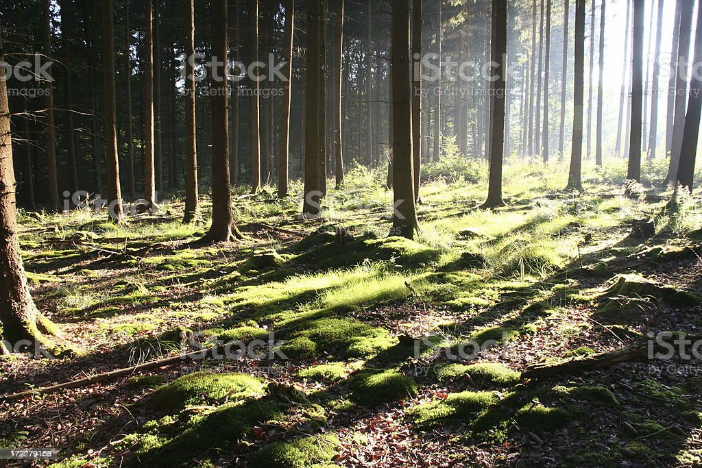 forest in the morning royalty-free stock photo