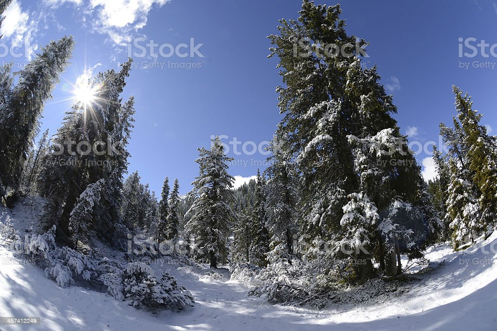 Forest in winter royalty-free stock photo