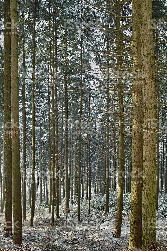 forest in winter with fir trunks royalty-free stock photo