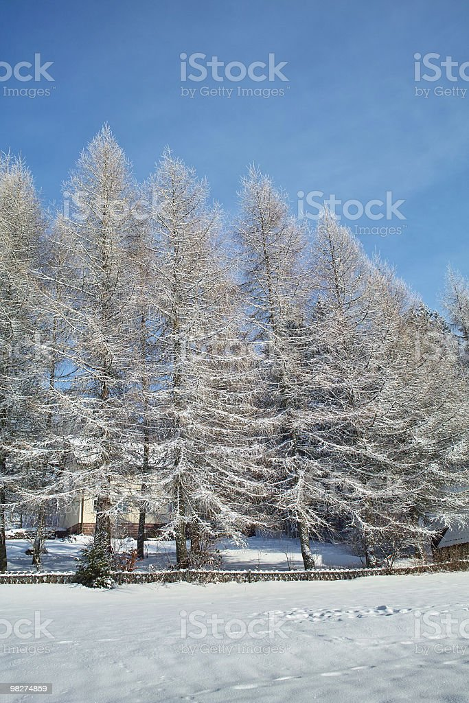 forest in winter with larch and hunter fence royalty-free stock photo