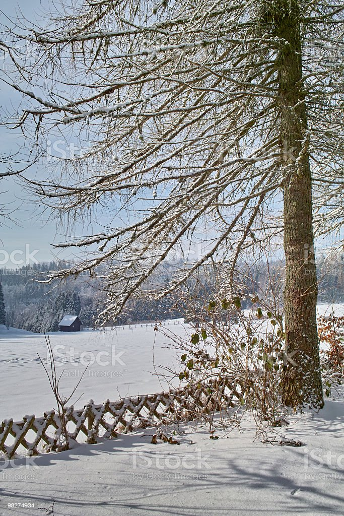 forest in winter with larch, hunter fence and landscape royalty-free stock photo