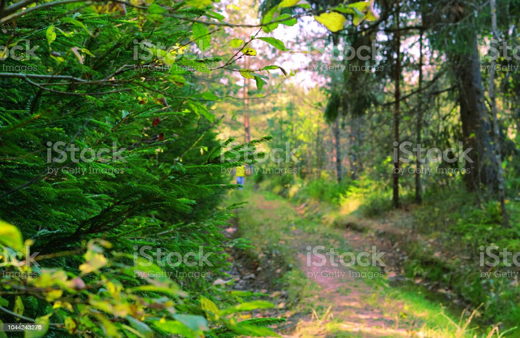 Lets Focus On Real Environmental >> Forest Landscape At Dawn Or At Sunset Of The Day An Old Forest Road