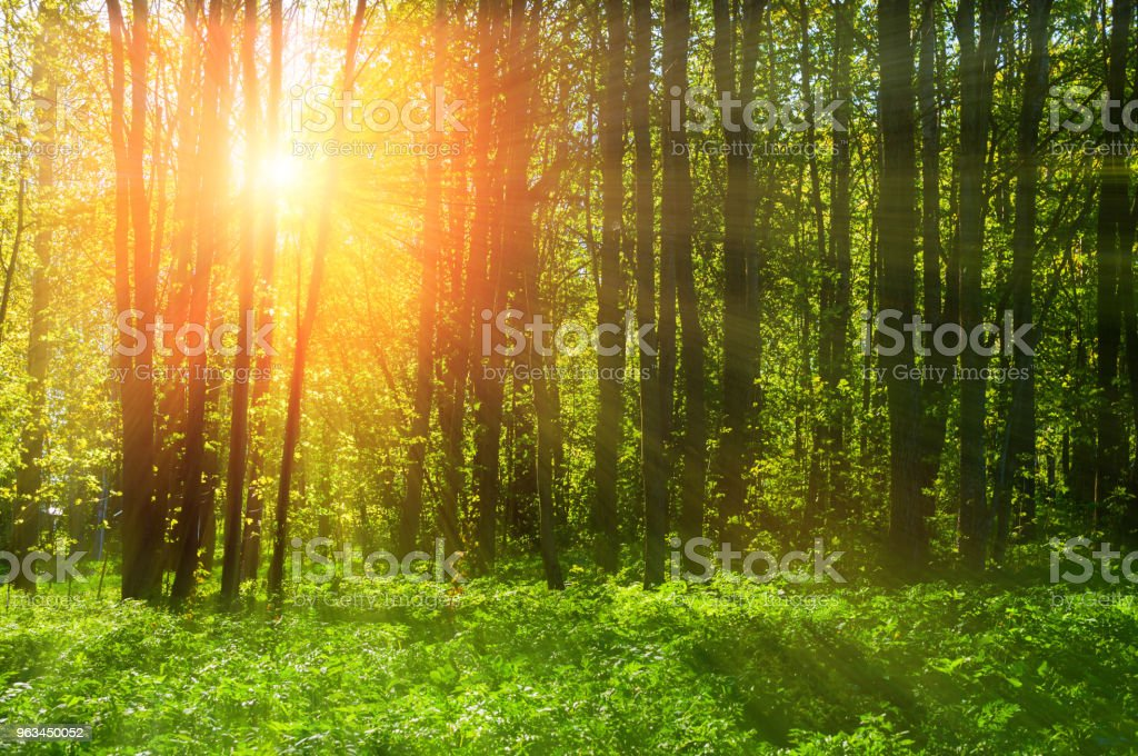 Forest landscape - forest trees and sunset light - Zbiór zdjęć royalty-free (Bez ludzi)