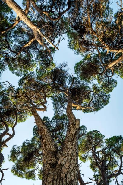 waldlandschaft von skiathos insel - baumwipfelpfad stock-fotos und bilder